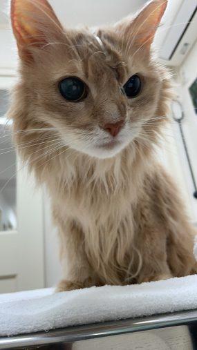 入院していた時のしるく、鼻に給餌をするためのチューブが入っている(画像:「ソマリ猫そま吉のブログ」2021年05月14日投稿より)