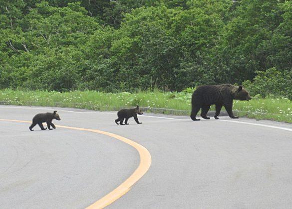 道路を横断するヒグマの親子